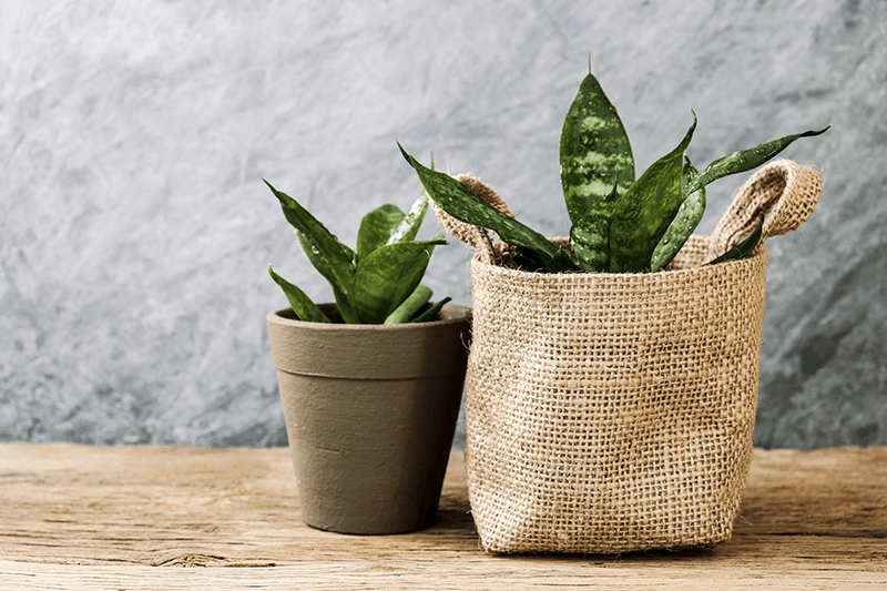 snake plants in burlap pot