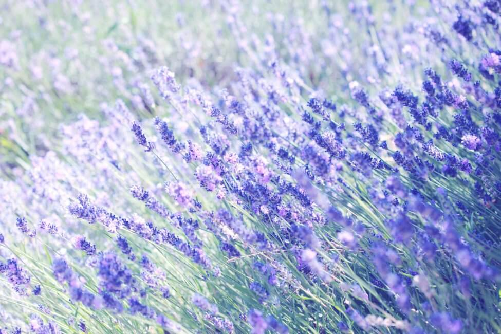 lavender field | City Beauty
